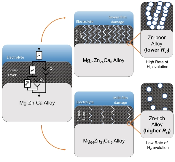 Mécanisme proposé pour la dissolution de Mg60Zn34Ca6 et Mg73Zn23Ca4 en solution physiologique